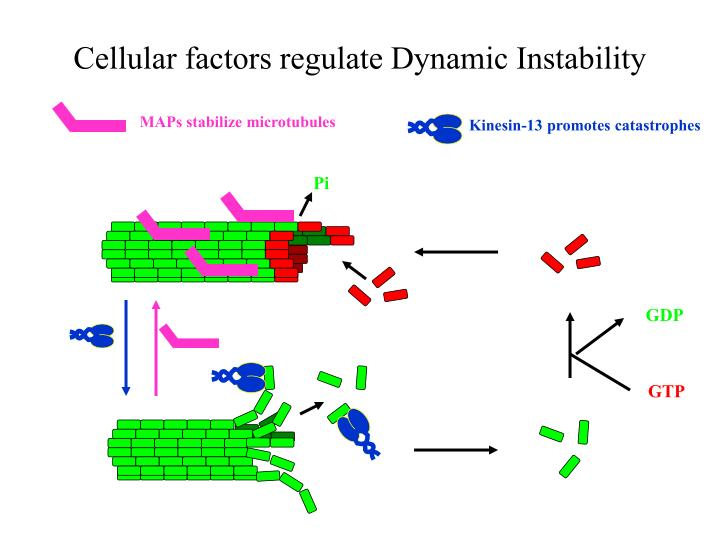 Cellular factors regulate Dynamic Instability
