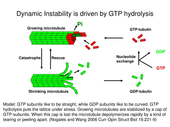 Dynamic Instability is driven by GTP hydrolysis