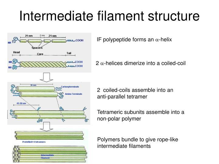 Intermediate filament structure