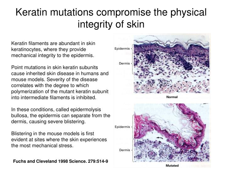 Keratin mutations compromise the physical integrity of skin