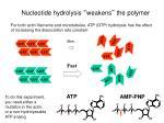 nucleotide hydrolysis weakens the polymer1