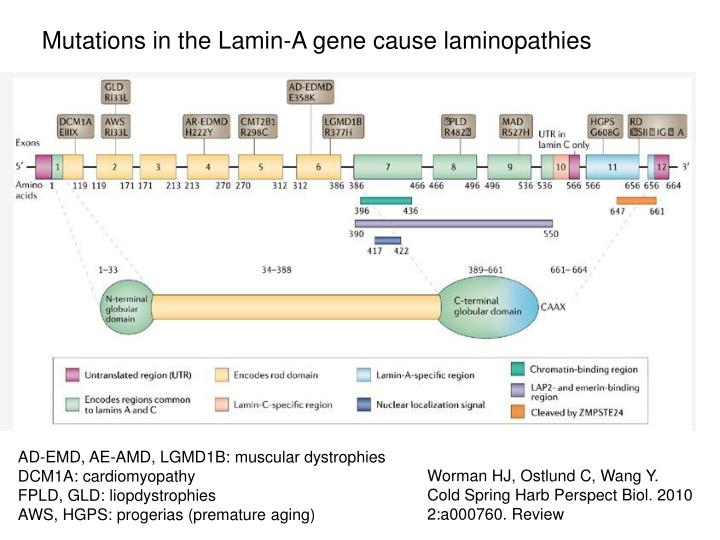 Mutations in the Lamin-A gene cause laminopathies