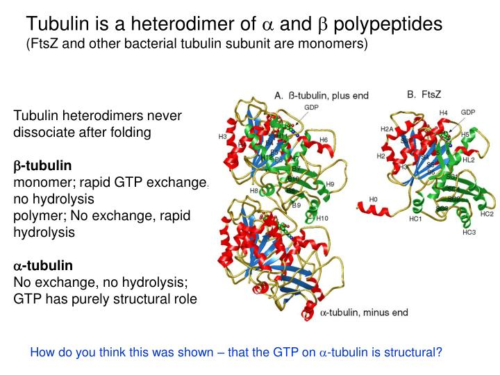 Tubulin is a heterodimer of