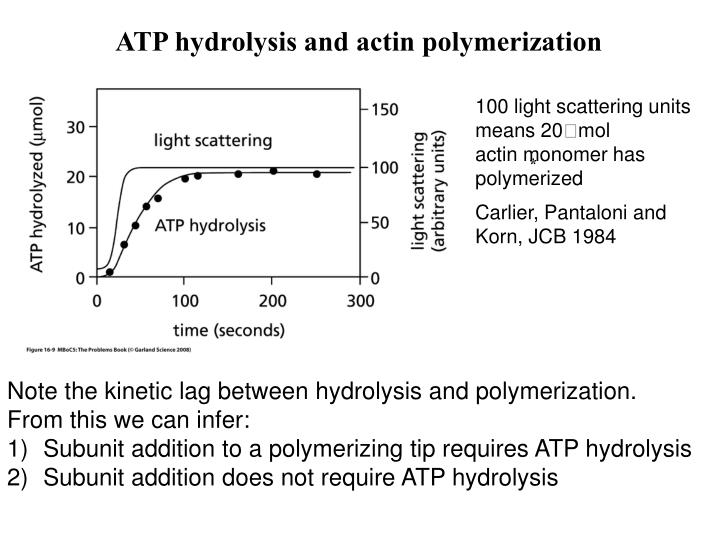 ATP hydrolysis and actin polymerization