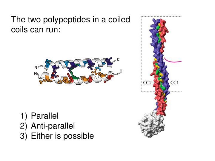 The two polypeptides in a coiled coils can run:
