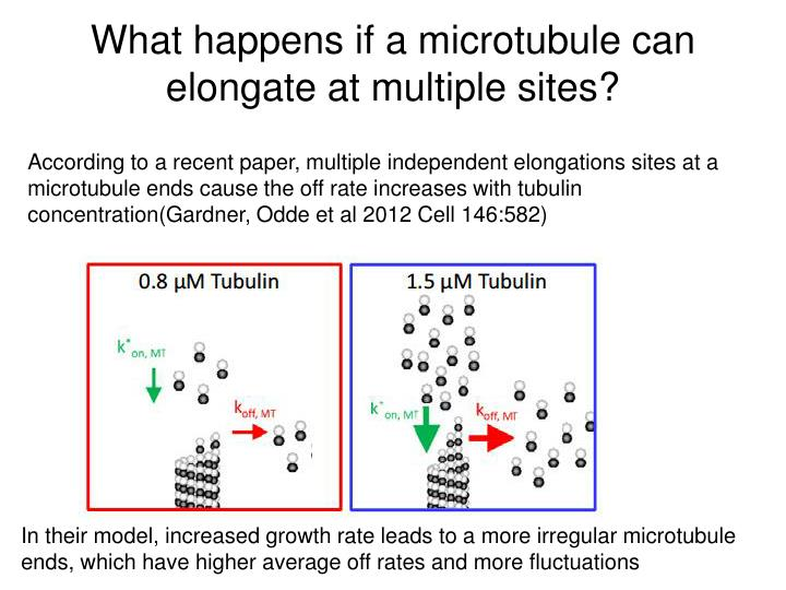 What happens if a microtubule can elongate at multiple sites?