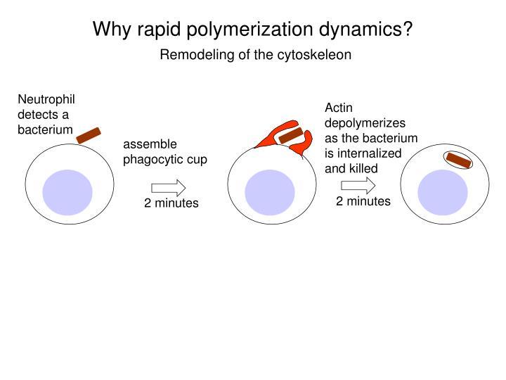 Why rapid polymerization dynamics?