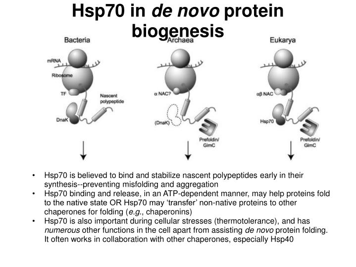 Hsp70 in