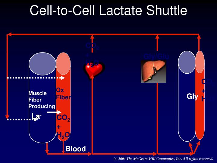 Cell-to-Cell Lactate Shuttle