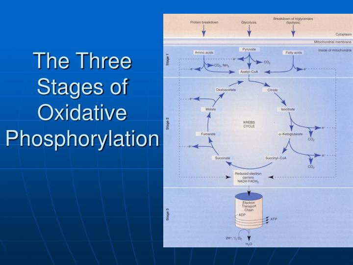 The Three Stages of Oxidative Phosphorylation
