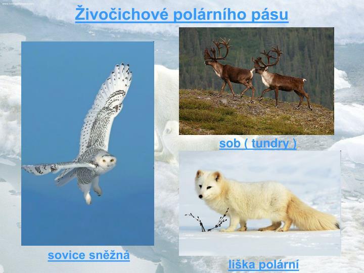 Živočichové polárního pásu