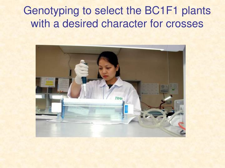 Genotyping to select the BC1F1 plants with a desired character for crosses