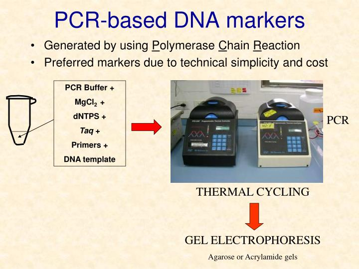 PCR-based DNA markers