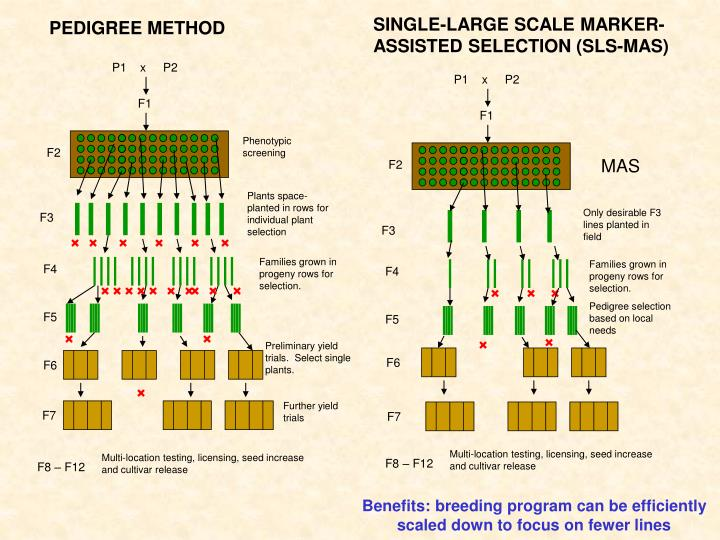 SINGLE-LARGE SCALE MARKER-ASSISTED SELECTION (SLS-MAS)