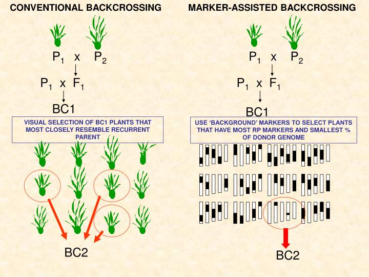 MARKER-ASSISTED BACKCROSSING