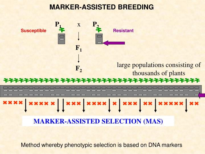 MARKER-ASSISTED SELECTION (MAS)