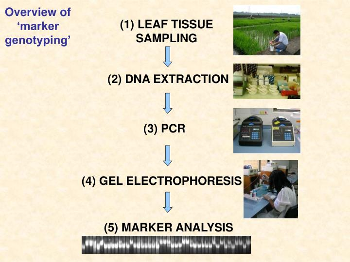 Overview of 'marker genotyping'