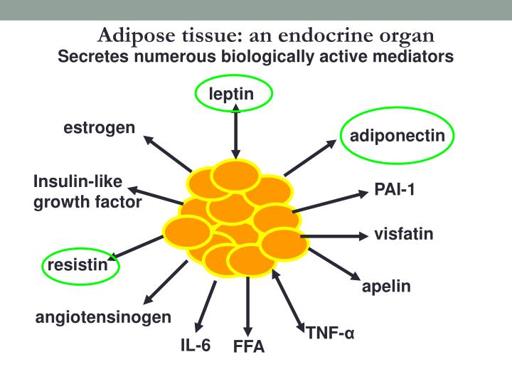 Adipose tissue: an endocrine organ