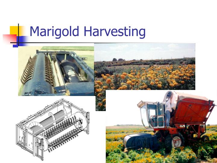 Marigold Harvesting