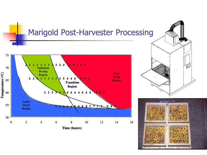 Marigold Post-Harvester Processing