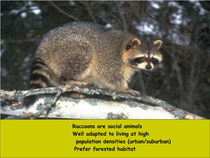 Raccoons are social animals