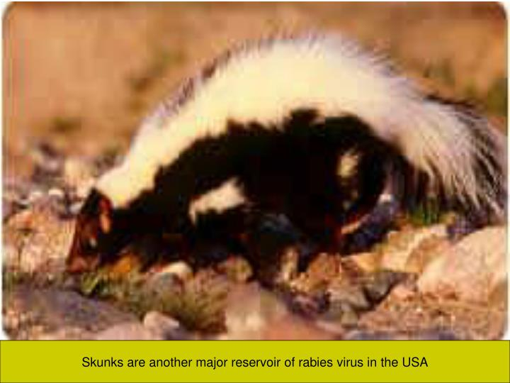 Skunks are another major reservoir of rabies virus in the USA