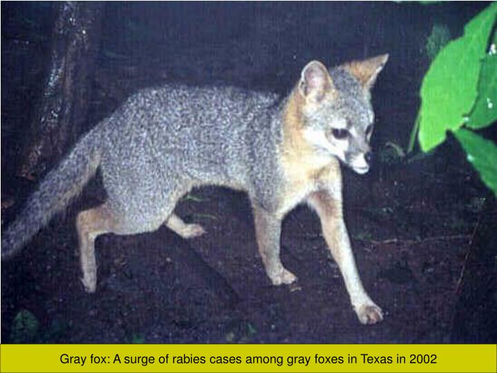 Gray fox: A surge of rabies cases among gray foxes in Texas in 2002