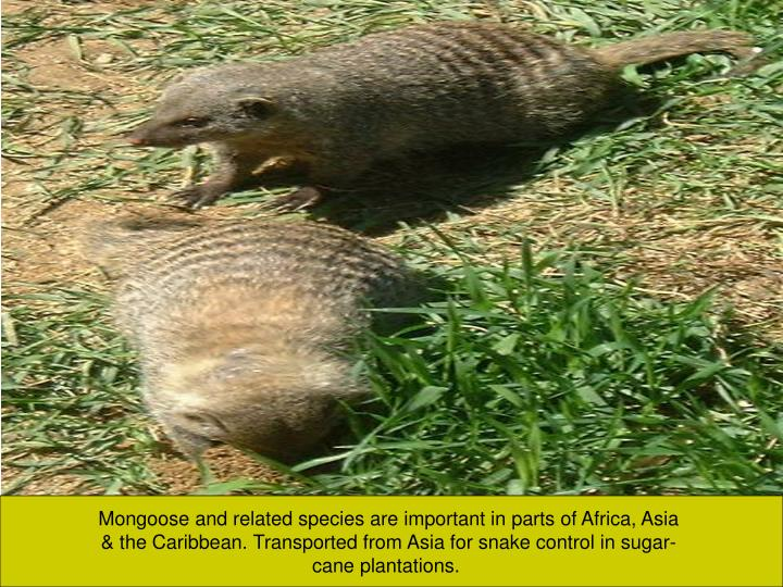 Mongoose and related species are important in parts of Africa, Asia