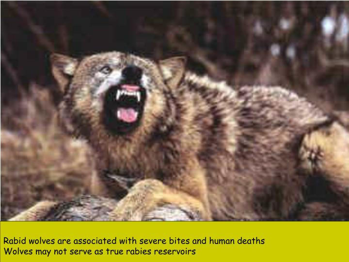 Rabid wolves are associated with severe bites and human deaths