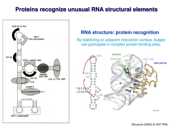 Proteins recognize unusual RNA structural elements