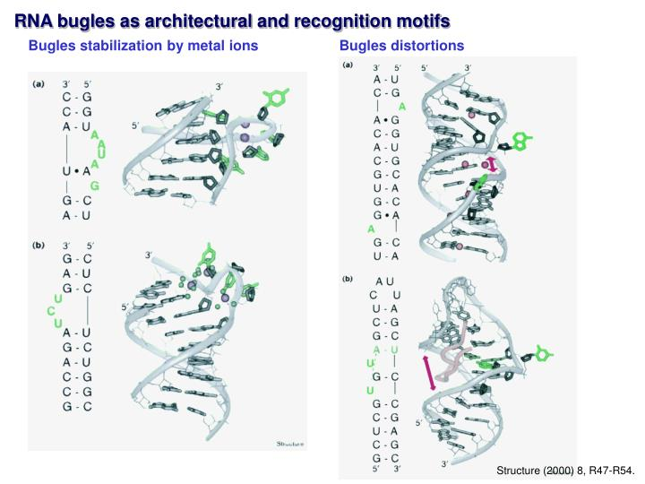 RNA bugles as architectural and recognition motifs