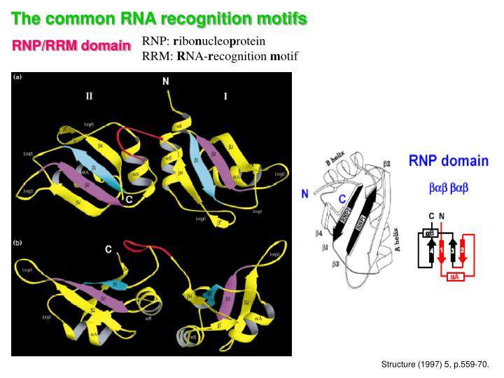 The common RNA recognition motifs