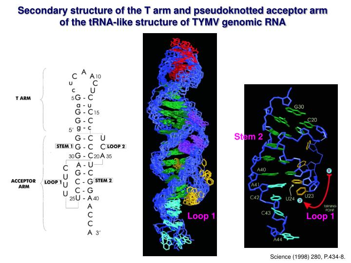 Secondary structure of the T arm and pseudoknotted acceptor arm of the tRNA-like structure of TYMV genomic RNA