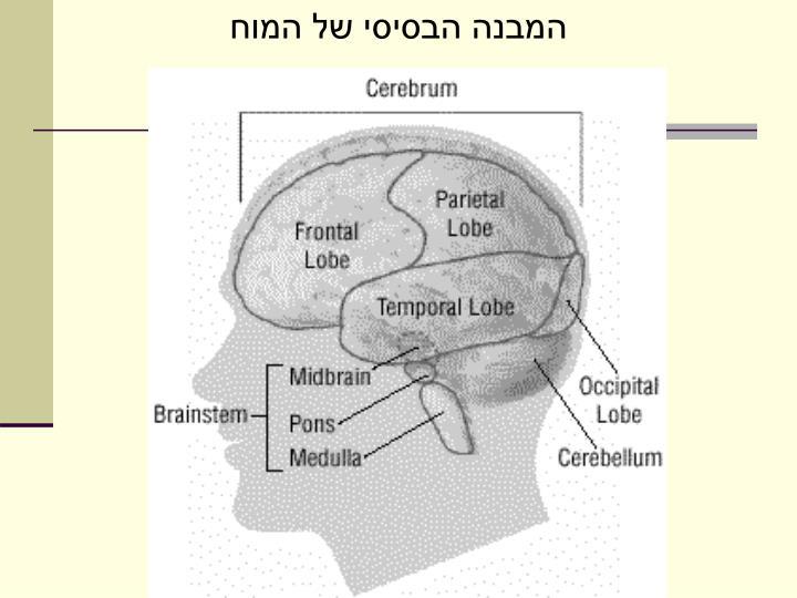 המבנה הבסיסי של המוח