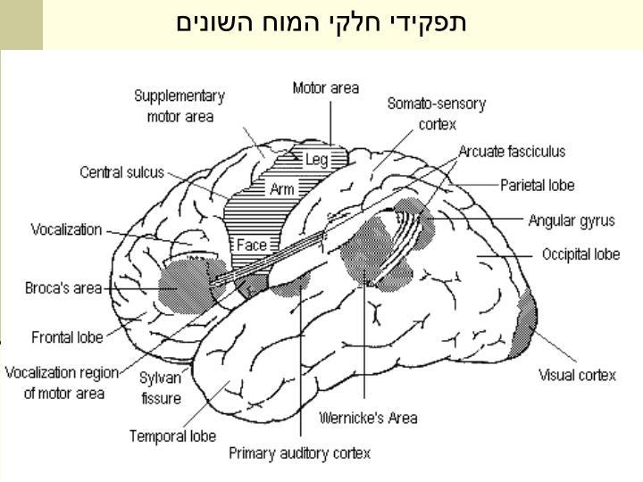 תפקידי חלקי המוח השונים