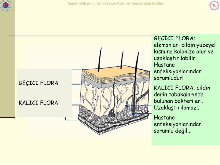 GEÇİCİ FLORA; elemanları cildin yüzeyel kısmına kolonize olur ve uzaklaştırılabilir. Hastane enfeksiyonlarından sorumludur!