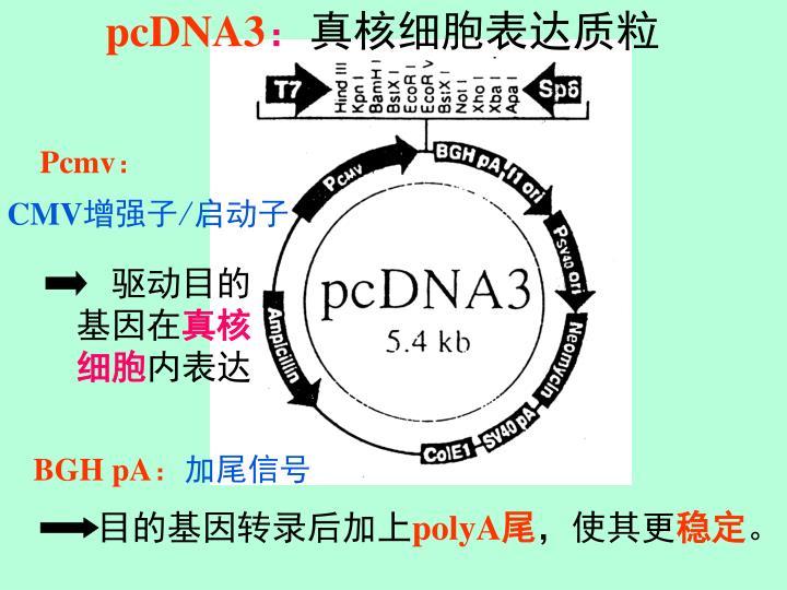 pcDNA3