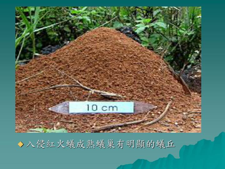 入侵紅火蟻成熟蟻巢有明顯的蟻丘