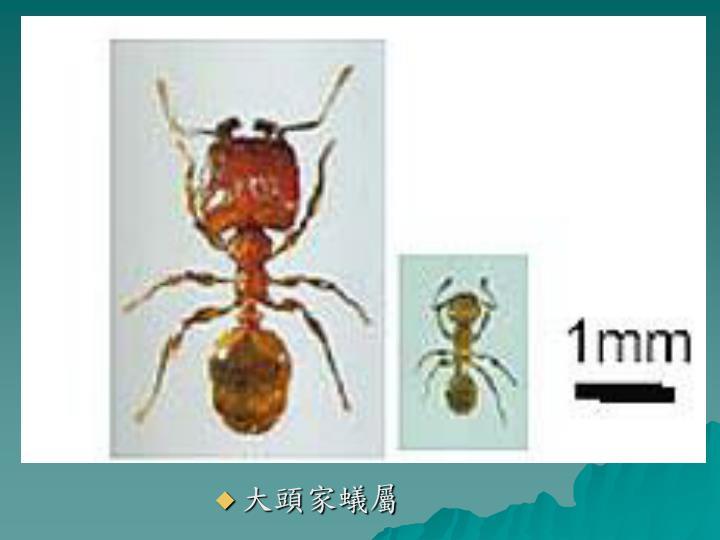 大頭家蟻屬