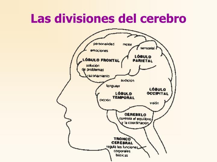 Las divisiones del cerebro