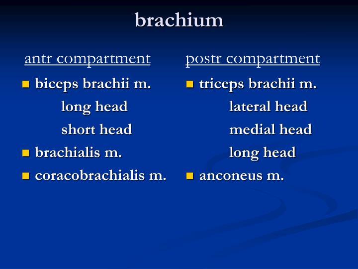 biceps brachii m.