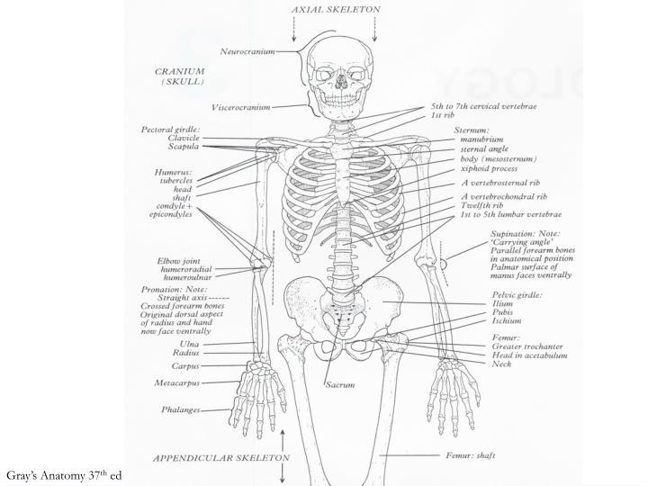 Gray's Anatomy 37