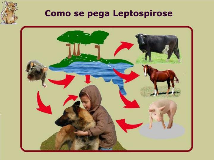 Como se pega Leptospirose