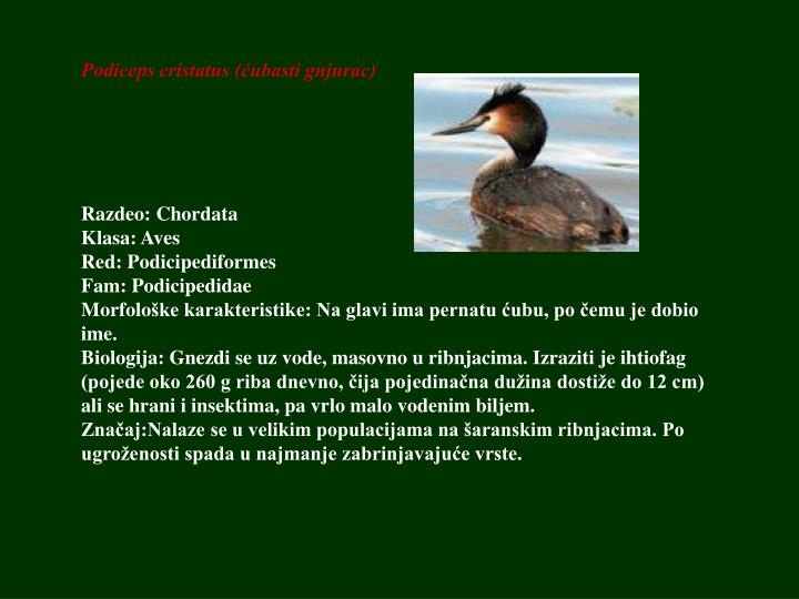 Podiceps cristatus (ćubasti gnjurac)