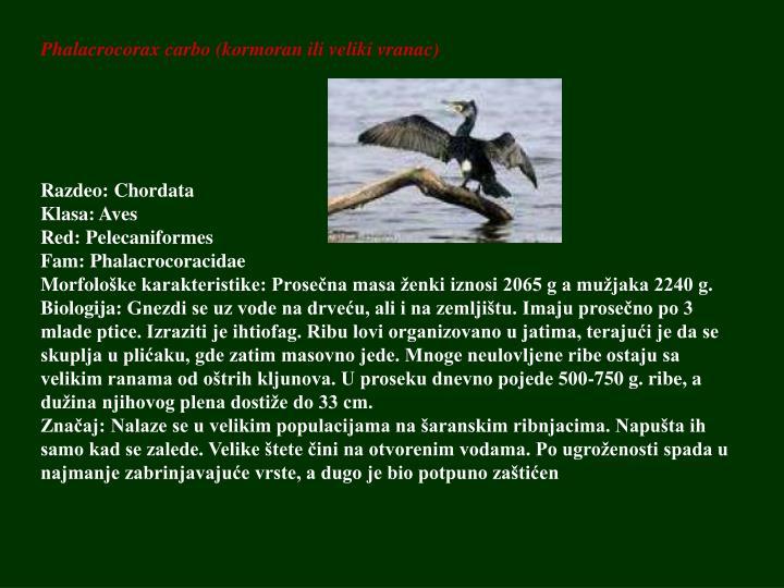 Phalacrocorax carbo (kormoran ili veliki vranac)