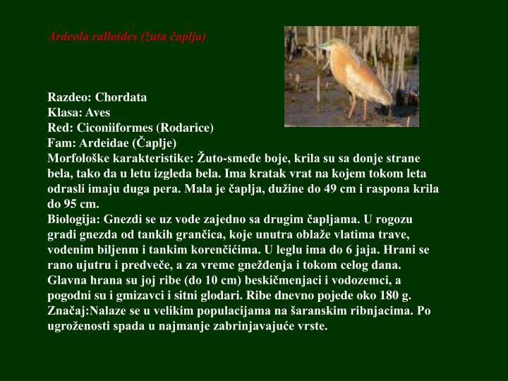 Ardeola ralloides (žuta čaplja)