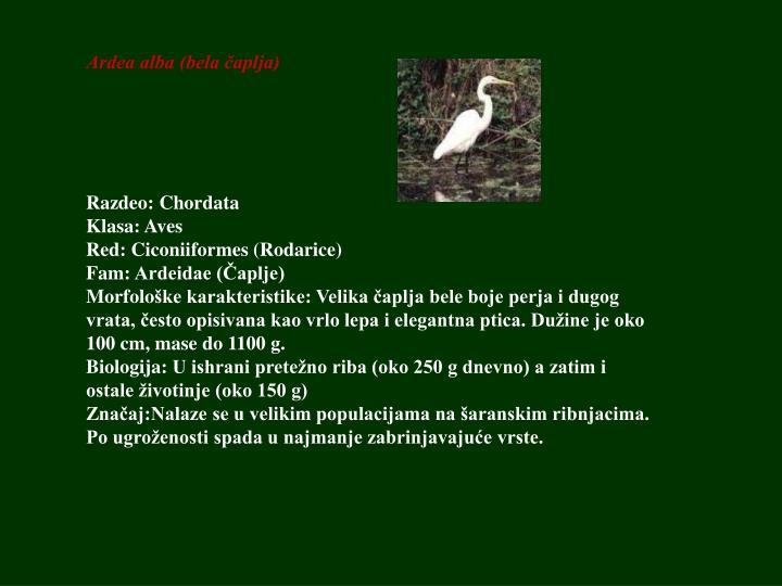 Ardea alba (bela čaplja)