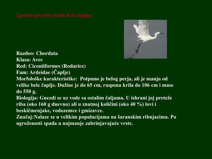 Egretta garzetta (mala bela čaplja)