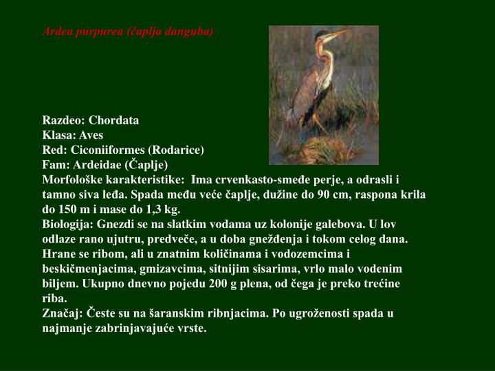 Ardea purpurea (čaplja danguba)