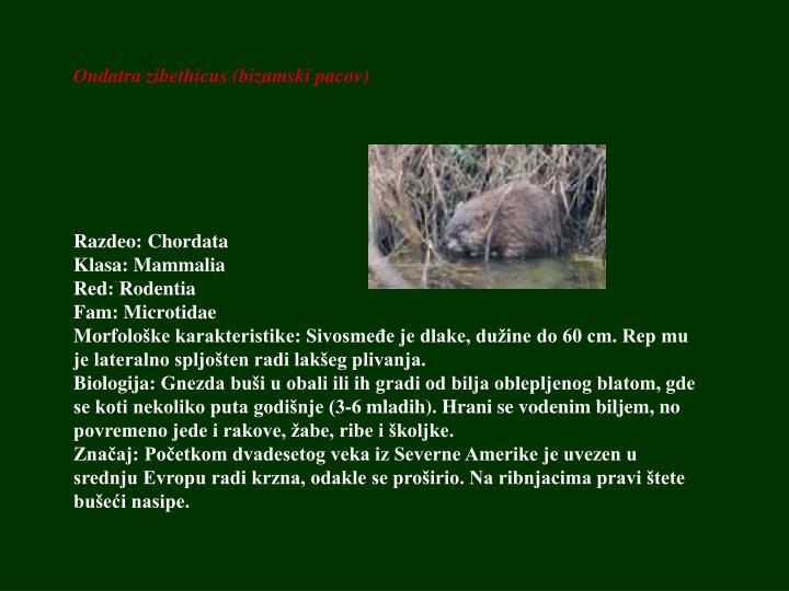 Ondatra zibethicus (bizamski pacov)